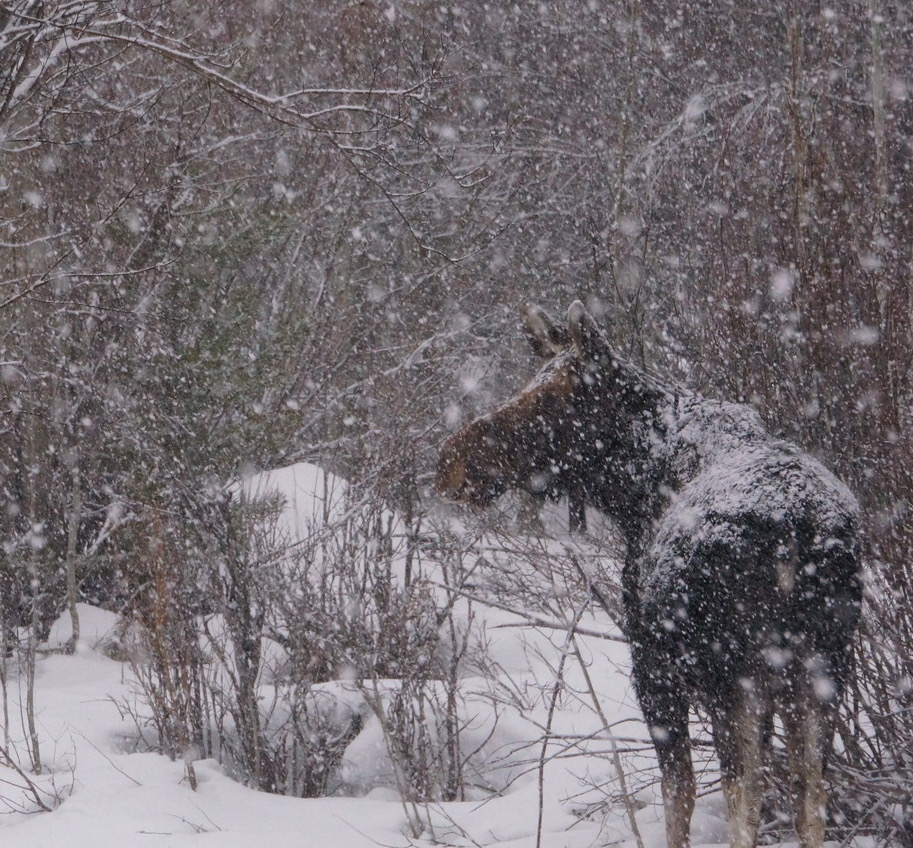 Moose are often seen in Jackson Hole while cross country skiing